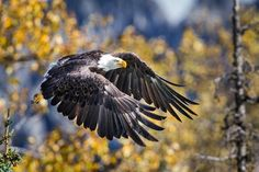 Swooping American Bald Eagle, Wildlife Photography, Fine Art, Wall Decor, Animal, Bird Photography, Rob's Wildlife by RobsWildlife on Etsy https://www.etsy.com/listing/210495251/swooping-american-bald-eagle-wildlife