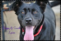 Louise is an adoptable Border Collie Dog in Hartsville, TN. ADOPTION FEE SPECIAL!  We want Thelma and Louise to find approved, loving homes very soon.  As a rescue, we give them what they need and as ...