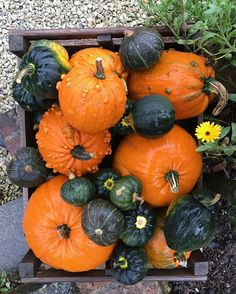 Try our squash and pumpkin recipes, perfect for Halloween! Autumn Nature, Autumn Art, Autumn Home, Happy Halloween, Halloween Party, Hemsley And Hemsley, Solstice And Equinox, Chocolate Drizzle, Peanut Butter Cookies