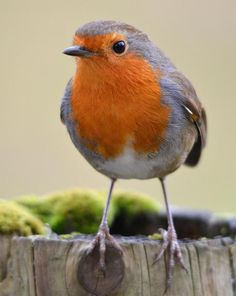 An adult European Robin on a fence post