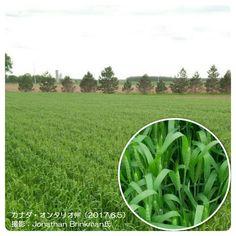 冬小麦に収量減の懸念(カナダ・オンタリオ州)   http://subaru25.official.jp/overseas-food-supply-and-demand-information-331/
