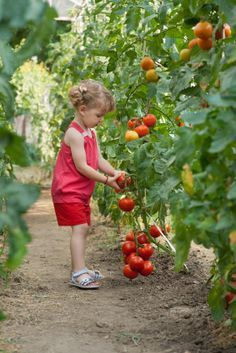 Ineffable Secrets to Growing Tomatoes in Containers Ideas. Remarkable Secrets to Growing Tomatoes in Containers Ideas. Summer Tomato, Red Tomato, Tomato Garden, Tomato Plants, Growing Tomatoes In Containers, Grow Tomatoes, Red Cottage, Down On The Farm, Plantar