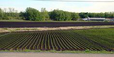 The muck fields of West Michigan #muck #celery #Michigan