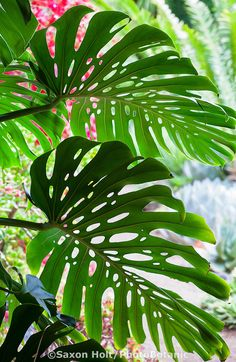 I have a Split-Leaf Philodendron (Monstera deliciosa) plant that can be traced back through my husbands family over 50 years.