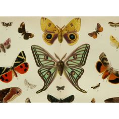 1895 Antique fine lithograph of BUTTERFLIES, different species. ($26) ❤ liked on Polyvore featuring home, home decor, wall art, paper wall art, paper butterfly wall art, antique lithograph, antique home decor and butterfly wall art