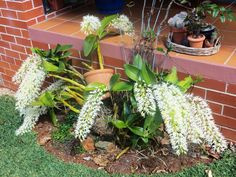 How to Grow Dendrobium