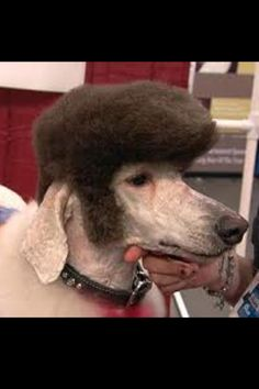 creative grooming.. Elvis hair-do on a standard poodle