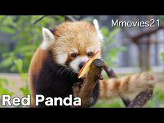 Red Panda カラスにブドウを取られてもマイペースなセイタ