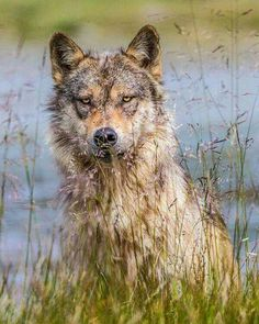 """""""Photograph by // A coastal wolf of British Columbia peers at me through the grass. I love being discovered by these great predators and then…"""" Wolf Photography, Wildlife Photography, Howl At The Moon, Wild Wolf, Beautiful Wolves, Wolf Spirit, Wild Creatures, Animal Tattoos, Predator"""