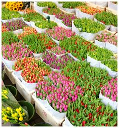 amsterdam, holland flower market, tulips