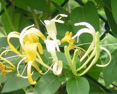 Here are 11 of the best smelling plants and flowers for your yard. You will love walking outside your house when the air is filled with their sweet scents. Honeysuckle Cottage, Honeysuckle Vine, Pergola Pictures, Outdoor Garden Furniture, Urban Farming, Garden Spaces, Juni, Live Plants, Pool Landscaping
