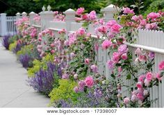 White fence, pink roses, sage (salvia) catmint and lady's mantle bordering sidewalk on house entrance. Photo by Jorge Antonio on Big Stock Photo