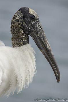 Wood stork (Mycteria americana)  by Robert Siegel