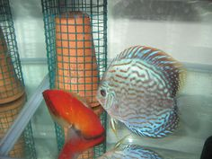 Best Discus Setup | The secerts of breeding discus