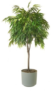 ficus alii grows easily indoors and resists insects good qualities in a houseplant it prefers medium to low light and a