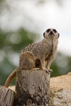Meerkat by Sophie L. Miller, via Flickr