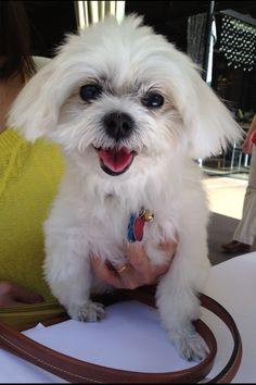 Happy! The cutest Maltese dog :D