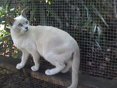 Tonkinese -Bred from Burmese and Siamese. These cats can have darker coats in cold temperatures. Vocal, Playful and curious. Needs brushed once a week. Cute Cats And Kittens, I Love Cats, Crazy Cats, Kittens Cutest, Tonkinese Kittens, Domestic Cat Breeds, Cat People, Losing A Pet