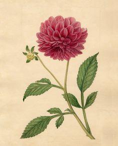 Sydenham Teast Edwards -- Dahlia superflua -- Sydenham Teast Edwards -- Artists -- RHS Prints