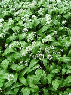 This is how wild garlic looks !