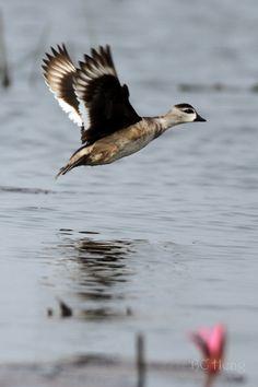 a408 20120331 Beung Boraphet\02 Birds\006 Cotton Pygmy Goose 棉鳧 นกเป็ดคับแค