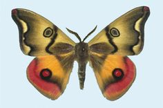 Polythysana rubrescens Blanchard, 1852 - image