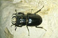Pseudolucanus barbarossa (Fabricius, 1801)