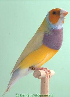 Gouldian Finch - Yellow Head Lilac Breast Single Factor Pastel Green