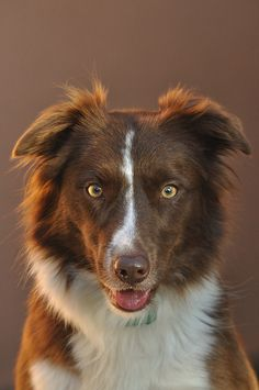 Red and White border collie by mcvmjr1971, via Flickr