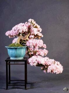 ~ Not often do we find an Azalea Bonsai in cascade style. The tree has bright flowers. Photo by: Teunis Jan Klein ~