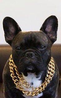 'BLINGY', the French Bulldog.