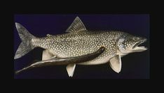 Fish Mounts, Underwater World, Deep Sea, Trout, Salmon, Hunting, Carving, Shop, Taxidermy