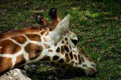 Jirafa, animales, zoologico, blanco, cafe, moteado, ojos, Giraffe, animals, zoo, white, brown, speckled, eyes