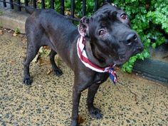 TO BE DESTROYED - 07/20/14 Manhattan Center -P  My name is PUDDING. My Animal ID # is A1006529. I am a female black and white cane corso mix. The shelter thinks I am about 2 YEARS ...