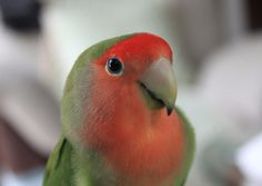 My peachfaced lovebird - normal