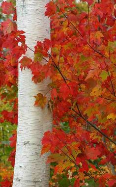Red leaves of a sugar maple wrapped around a birch tree.