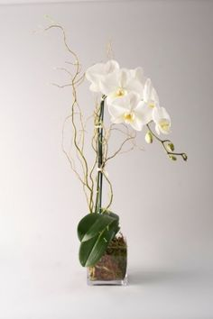Our Single Stem White Phalaenopsis Orchid is potted with green moss in a glass orb vase and accented with curly willow and raffia. $75.00