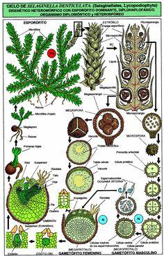 Selaginella denticulata (Lycopodiophyta, Selaginellales).JPG (1102×1724)