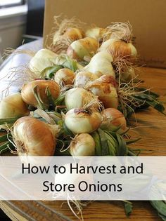 How to Harvest and Store Onions -By Tricia Edgar