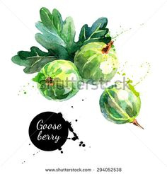 Hand drawn watercolor painting gooseberry on white background. Vector illustration of berries Watercolor Fruit, Fruit Painting, Watercolor Brushes, Watercolour Painting, Fruit Illustration, Food Illustrations, Botanical Illustration, Still Life Artists, Photo Images