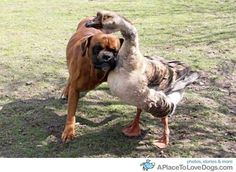 Blind boxer Bax is taken under the wing of pet goose Buttons.