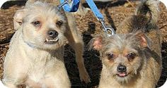 Powder Springs, GA - Border Terrier/Brussels Griffon Mix. Meet COOPER & CHARLIE a Dog for Adoption.  These sweet babies lost their family due to foreclosure and would love to stay together.  They are brothers and are awesome dogs please help get them a home together again~~ What a sweet pair I would get them in a minute but I have two rescues just like them so I am cut off.  Let's get them a great forever home together!~~