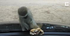 Watch the moment a miniature primate becomes frustrated after attempting to steal a man's burger. through a windshield. Peter Koen, 37, had been snorkeling at Cape Vidal in the Simangaliso Wetlands Park, South Africa, when a troop of Vervet monkeys swarmed around his car.