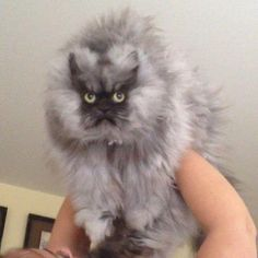 World's angriest cat lives in Seattle http://mynorthwest.com/646/1272959/Photos-Worlds-angriest-cat-lives-in-Seattle