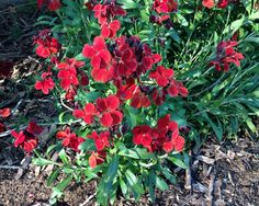 """Erysimum cheiri.Perennial. Unique, 1 ½"""" velvety crimson flowers start to bloom early in the spring from a mid summer sowing the year before. Blooms in clus"""