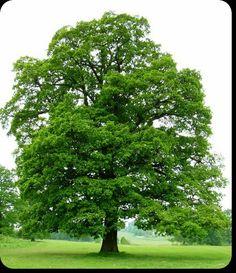 Willow Oak Tree Seedlings is a deciduous tree that will reach feet tall. Deciduous Trees, Trees And Shrubs, Trees To Plant, White Oak Tree, Oak Tree Tattoo, Tree Seedlings, Picture Tree, Unique Trees, Trees Beautiful