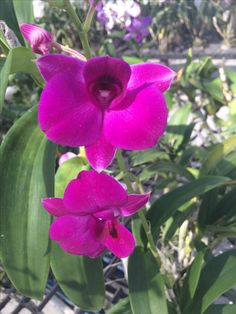Thailand orchids (Wil 5)