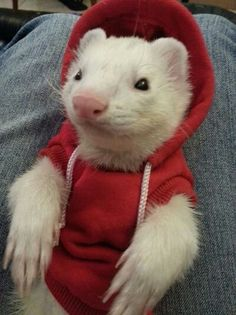 Cutest little hoodie sweater for ferrets!
