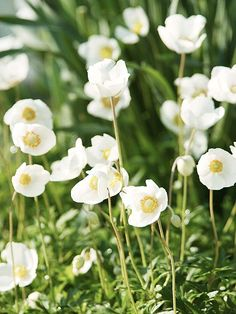 Snowdrop Windflower (anemone sylvestris)...cheerful white spring blooms and often reblooms in summer.....love this in my border!