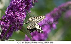 #Swallowtail #Butterfly On #Lilac @canstockphoto #canstockphoto #macro #insects #nature #season #color #focus #bokeh #flower #purple #outdoor #closeup #details #stock #photo #portfolio #download #hires #royaltyfree